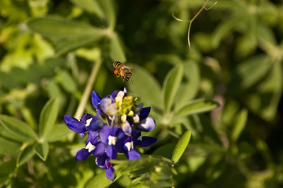 Honeybee atop a bluebonnet